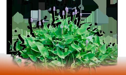 Plantas naturales acuaticas dnat ecosistemas for Plantas de estanque