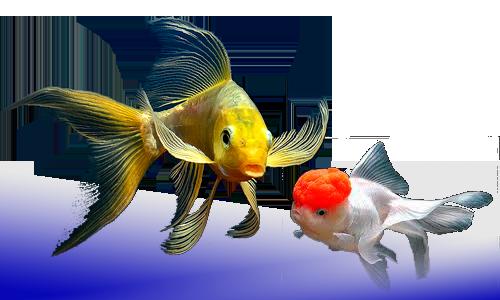 Tienda peces agua dulce y marino dnat ecosistemas for Peces ornamentales agua fria