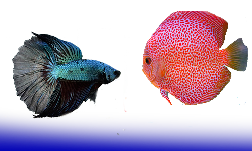 Tienda peces agua dulce y marino dnat ecosistemas for Peces marinos para acuarios pequenos