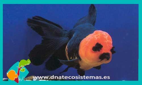BOINA ROJA NEGRO solo un ejemplar - 45.60€. DNATecosistemas.es a3d009c0e44