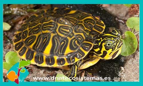 Resultado de imagen de tortuga floridiana dnatecosistemas