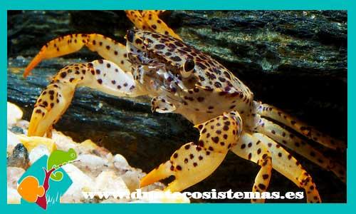 Resultado de imagen de cangrejo leopardo dnatecosistemas