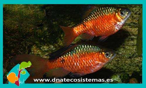Barbos dnat ecosistemas for Comida viva para peces