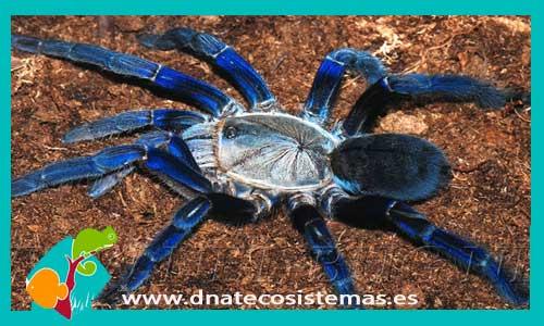 nueva llegada de tarantulas 150677-Haplopelma-lividum
