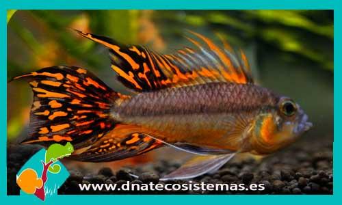 Ciclidos enanos dnat ecosistemas for Comida viva para peces