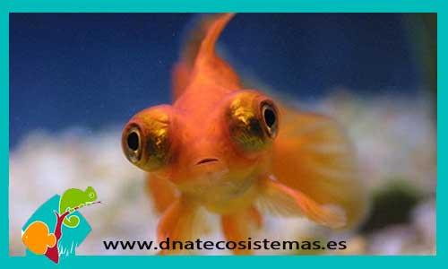 Carassius auratus. telescopio-rojo-5-6-cm-tienda-online-peces- d1ca9b8e3e6