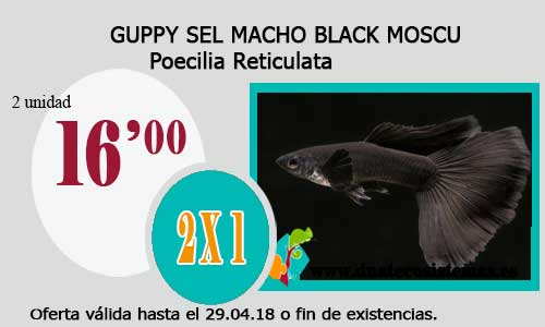 GUPPY SEL MACHO BLACK MOSCU