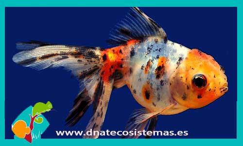 Carassius auratus.  oranda-calico-escama-perlada-corona-goldfish-carpin-peces- aa267cd86c3