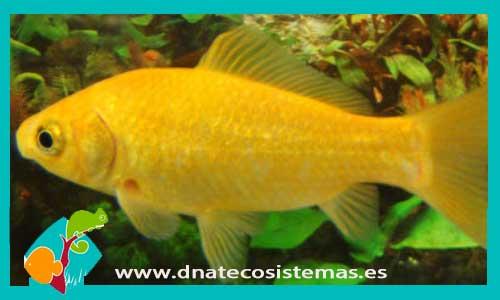 COMETA AMARILLO 5-8 CM Carassius auratus - 1.60€. DNATecosistemas.es bbc8b2c0965
