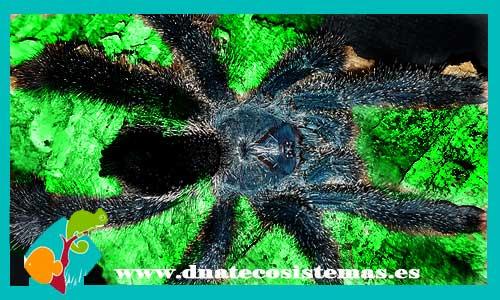 nueva llegada de tarantulas 215645-Avicularia-metallica2