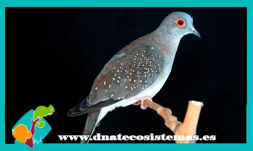 Nueva llegada de tortolas 241162-Tortola-diamante1-(1)