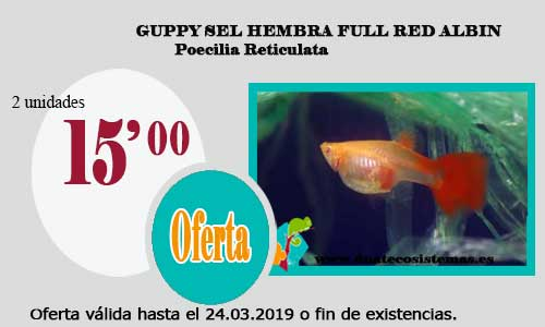 GUPPY SEL HEMBRA FULL RED ALBIN