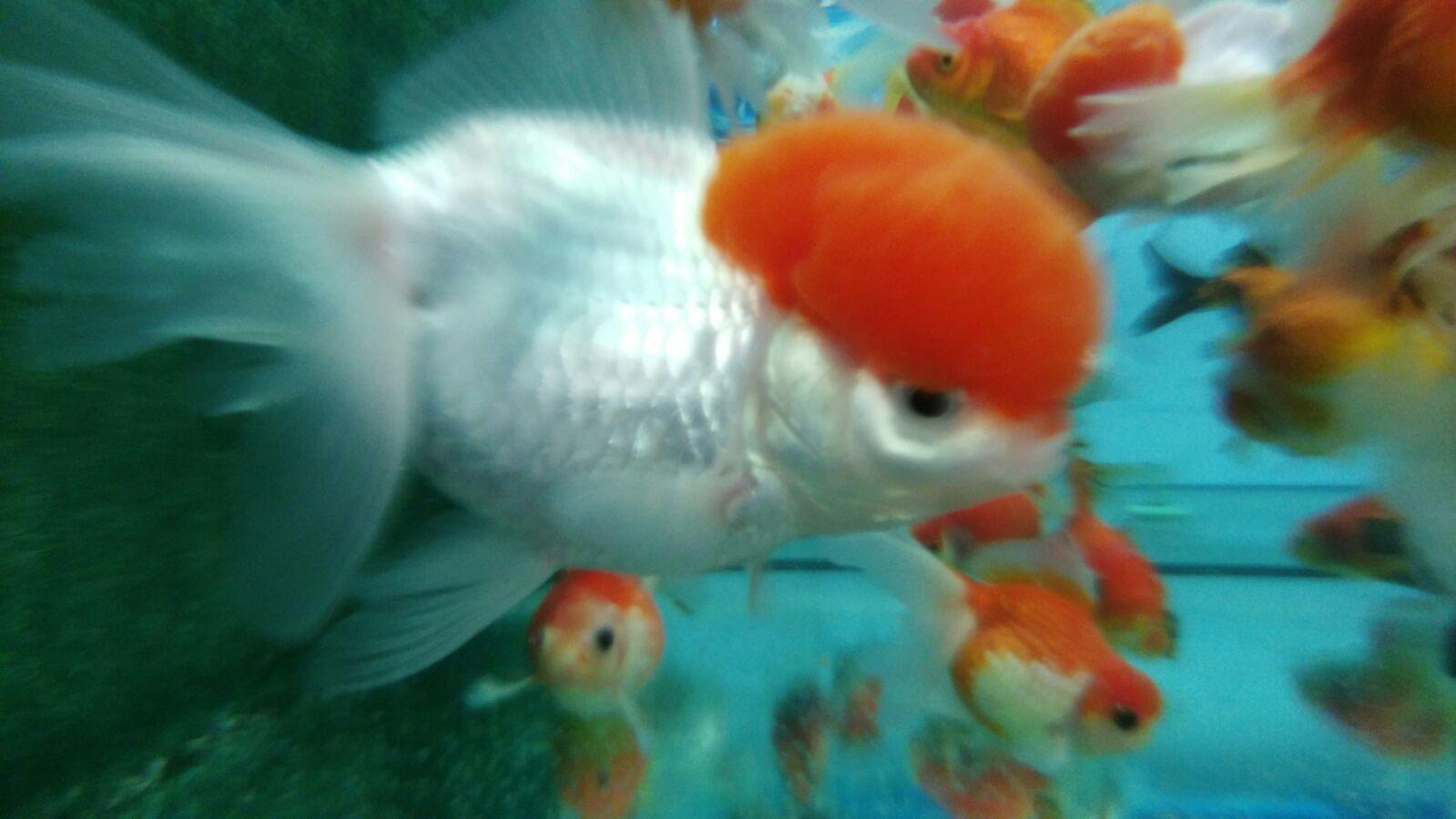 boina-roja-red-cap-goldfish-calidad-carassius-auratus- ec338b23181
