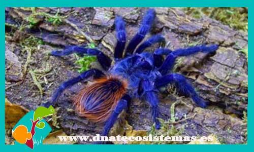 nueva llegada de tarantulas 290876-tarantula-azul-de-brasil-1cm-pterinopelma-sazimai-barata-tienda-de-reptiles-online-venta-de-mascotas-terrario-comedero-bebedero-grillos-plantas-rocas-troncos-arena-sustrato-