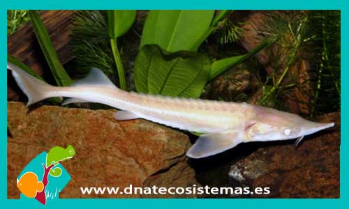 Esturion blanco acipenser ruthenicus albino for Peces de agua dulce fria