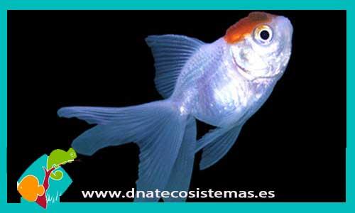 Carassius auratus. boina-roja-5-6cm-venta-de-peces-online- d86ab30da73