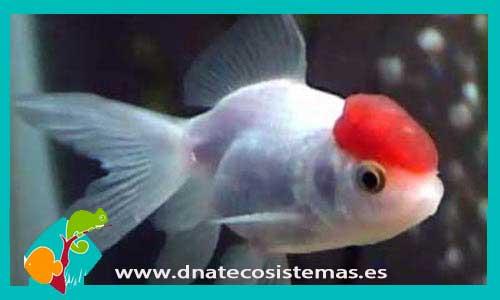 BOINA ROJA 9-10 CM Carassius auratus - 14.10€. DNATecosistemas.es 9376dcc9ae0