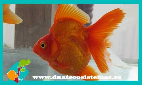Carassius auratus. ryukin-rojo-10-12-cm-tienda-online-peces- c316d5ffee2
