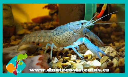 Langosta azul reproduccion asexual en