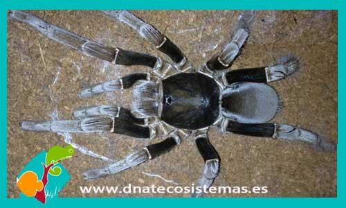 nueva llegada de tarantulas 365139-Hysterocrates-giga-2