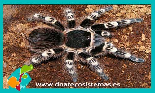 nueva llegada de tarantulas 374649-Acanthoscurria-geniculata