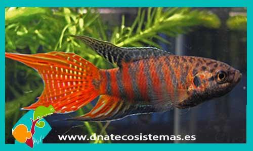 Anabantidos dnat ecosistemas for Comida viva para peces
