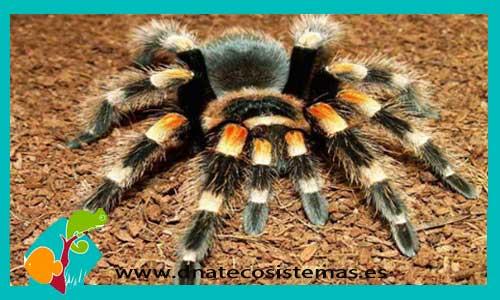nueva llegada de tarantulas 431524-Brachypelma-smithi