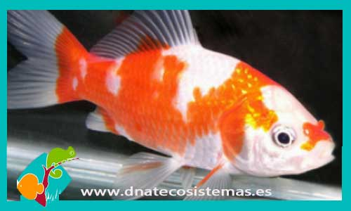 COMETA SARASA 4-5 CM Carassius auratus - 1.45€. DNATecosistemas.es c8213dedd87