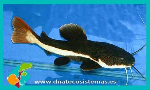 PEZ GATO COLA ROJA Phractocephalus hemioliopterus - 14.50 ...