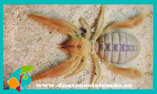 nueva llegada de tarantulas 476172-paragaleodes-sp