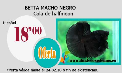 BETTA MACHO NEGRO