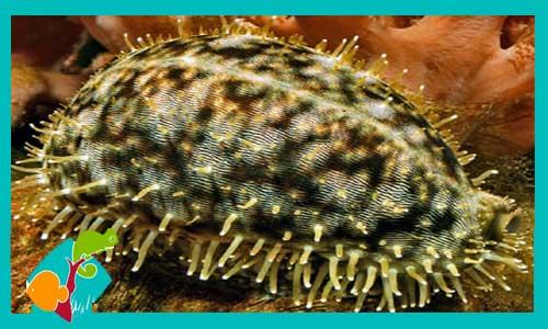 Cypraea tigris cypraea consultar stock for Comida viva para peces