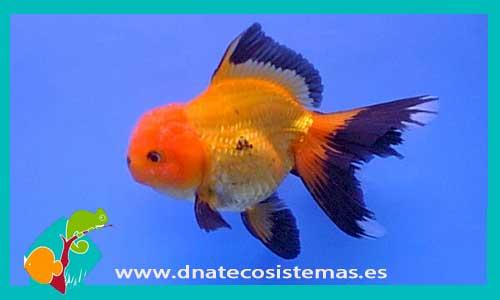 ORANDA ROJO-NEGRO 7-11 CM Carassius auratus - 13.70€. DNATecosistemas.es 7e06ca489e1