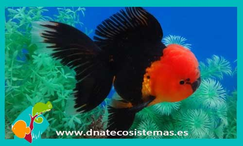 Orandas y boinas rojas dnat ecosistemas for Peces de agua fria koi
