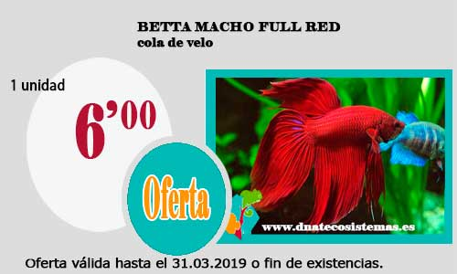 BETTA MACHO FULL RED