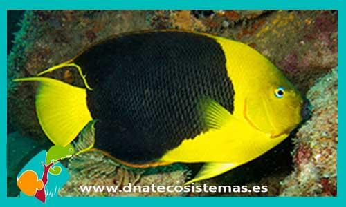 1cea0c604d38 HOLACANTHUS TRICOLOR HolacanthusTricolor - 99.99€. DNATecosistemas.es