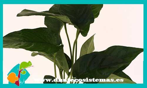 Nueva llegada de anubias 54612-Anubias-barteri-saeteada-dnatecosistemas-tienda-online-de-plantas-naturales-para-acuario-de-agua-dulce