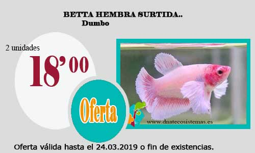 BETTA HEMBRA SURTIDA DUMBO