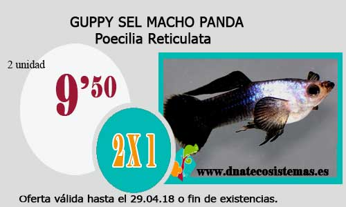 GUPPY SEL MACHO PANDA