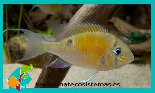 Geophagus biotodoma cupido biotodoma cupido for Acuariofilia peces ornamentales