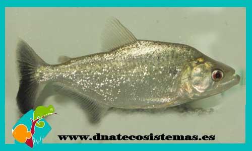 Nueva llegada de pirañas 570907-Serrasalmus-elongatus-venta-espana-piranha-piexe-portugal
