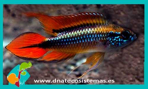 Apistograma agasizi doble rojo apistogramma agasizi 10 for Comida viva para peces