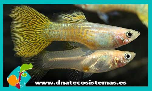 Resultado de imagen de pareja cobra dorado dnatecosistemas