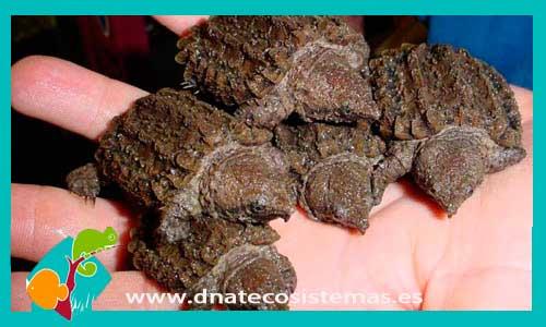 Resultado de imagen de tortug alligator dnatecosistemas