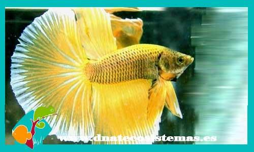 Bettas selecci n dnat ecosistemas for Where can i buy fish