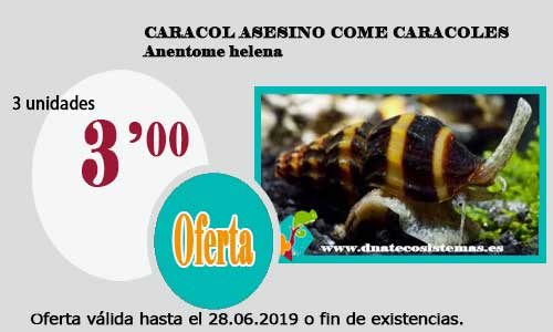 CARACOL ASESINO COME CARACOLES