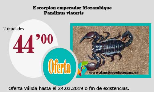 Escorpion emperador Mozambique