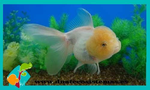 Carassius auratus. oranda-blanco-boina-roja-red-cap-goldfish-calidad- 06a2d3d263b