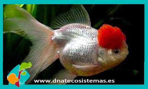 BOINA ROJA 10-12 CM Carassius auratus - 21.45€. DNATecosistemas.es 5abf288dfec