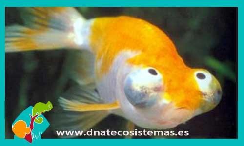 Miracierlos y ojo burbuja dnat ecosistemas for Enfermedades de peces de agua fria